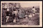 Culesul Villor Rumänische Bauern Weinernte